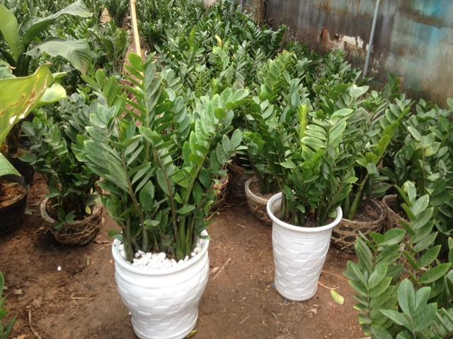 Người tuổi Tý nên trồng loại cây cảnh nào trong nhà?