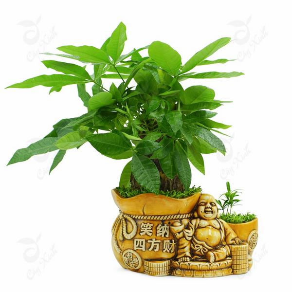 Cay-phong-thuy-cho-nguoi-menh-hoa-kim-ngan (Copy)