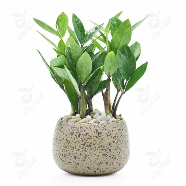 Cay-phong-thuy-cho-nguoi-menh-hoa-kim-tien (Copy)