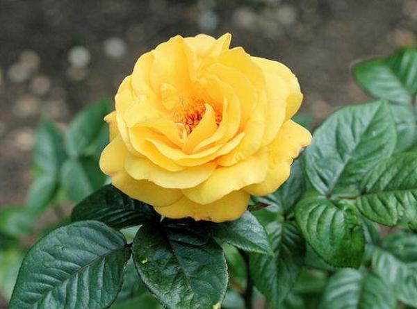 Hoa hồng vàng-cây phong thủy cho người mệnh kim
