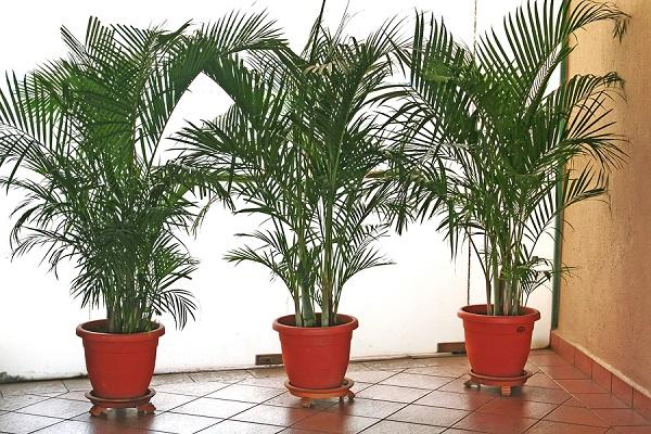 Cây cau cảnh là cây trồng hợp phong thủy