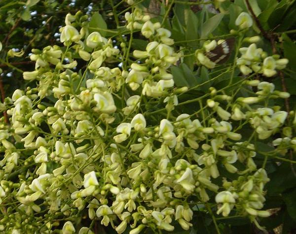 Cây hợp phong thủy trước nhà : cây hoa hòe