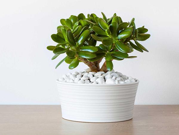 Ngọc bích-các loại cây trồng trong nhà tốt cho sức khỏe