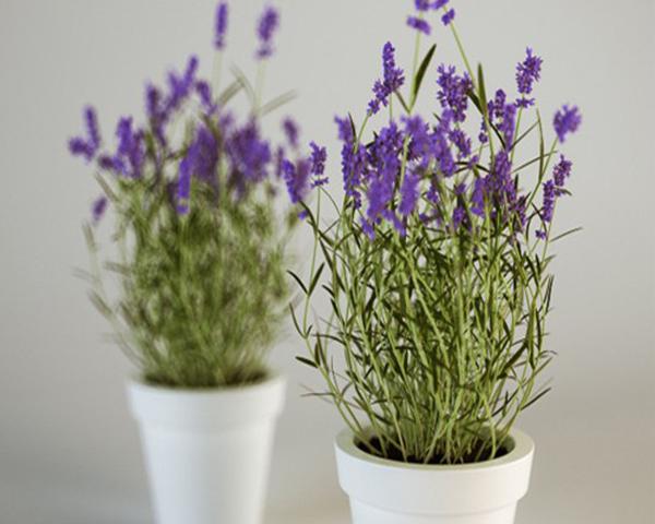 Cây oai hương thuộc các loại cây trồng trong nhà tốt cho sức khỏe