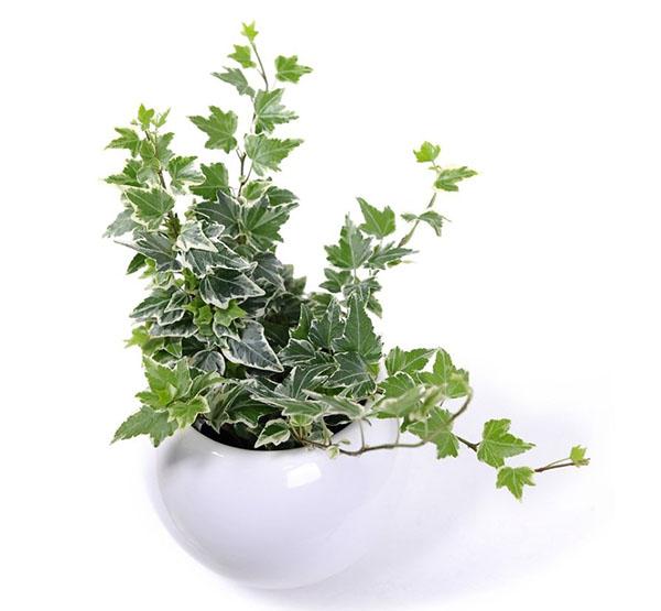 Cây thường xuân thuộc các loại cây trồng trong nhà tốt cho sức khỏe
