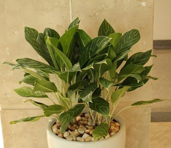 Bạch mã hoàng tử-các loại cây trồng trong nhà tốt cho sức khỏe