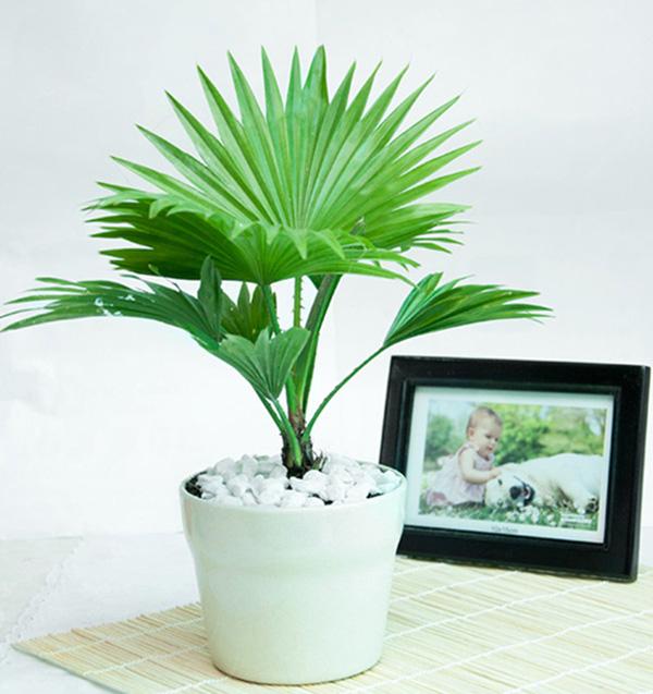 Cọ cảnh-các loại cây trồng trong nhà tốt cho sức khỏe