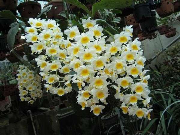 Ý nghĩa hoa lan trong phong thủy