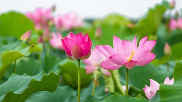 Ý nghĩa các loài hoa trong phong thủy