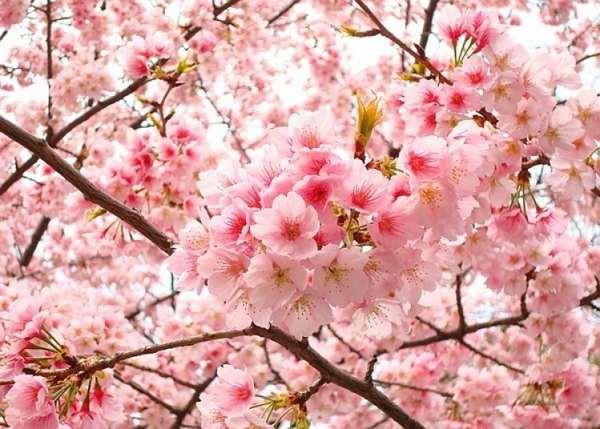Ý nghĩa hoa anh đào trong phong thủy