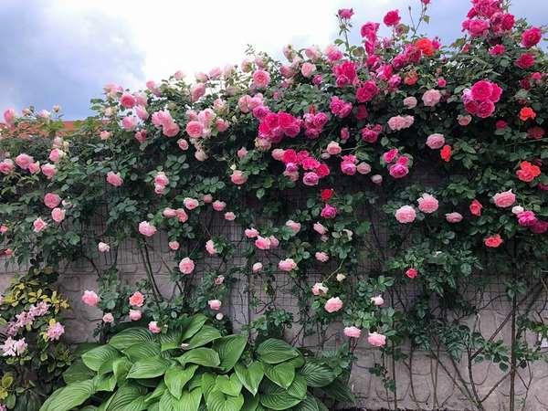 Ý nghĩa hoa hồng trong phong thủy