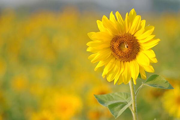 Nguồn gốc của loài hoa hướng dương